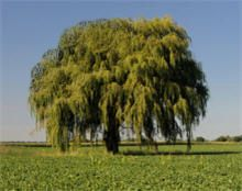 Weeping Willow This willow is one of the fastest growing shade trees, growing up to 6-8 ft. a year.