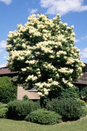 Japanese Tree Lilac. Pros: lilac, sun, flowers smell great, gets tall, can easily elevate the bottom so you can see out windows, will likely have bird nests. Cons: thick, bushy.