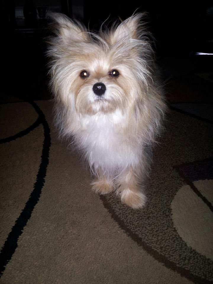 Pomeranian Mixed With Yorkie Black 12 best images about Y...