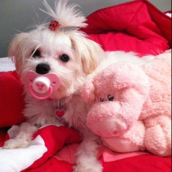 Baby Maltese---why did I never do this to Clyde?!