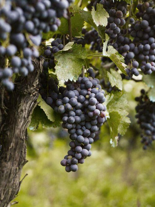 this-snug-haven:  Saperavi Grapes, Kakheti Region, Georgia Andrew Montgomery Photography