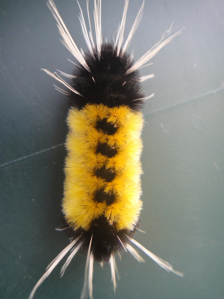 I love fuzzy Caterpillars!  and this is one of my favorites!