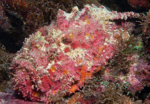 pez piedra camuflado con un coral