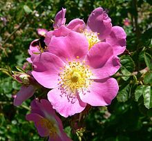 Smell of spring - The Alberta Rose