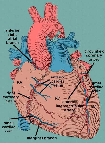 small cardiac vein - Google Search