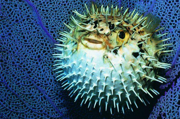 Image Result For Blowfish Blue Tang Fish Animals Fish