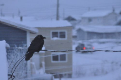 Raven perched on a wire.