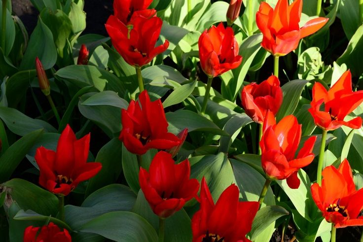 bright red flowers blooming tulips in the spring in city park