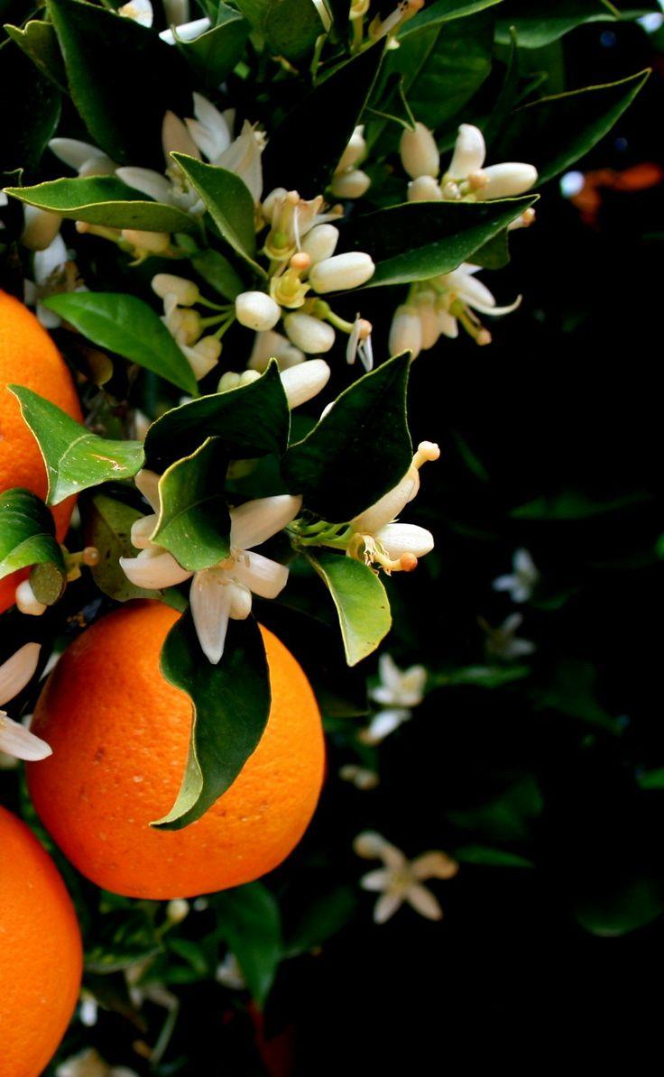 Πορτοκαλιά (Citrus Sinensis)