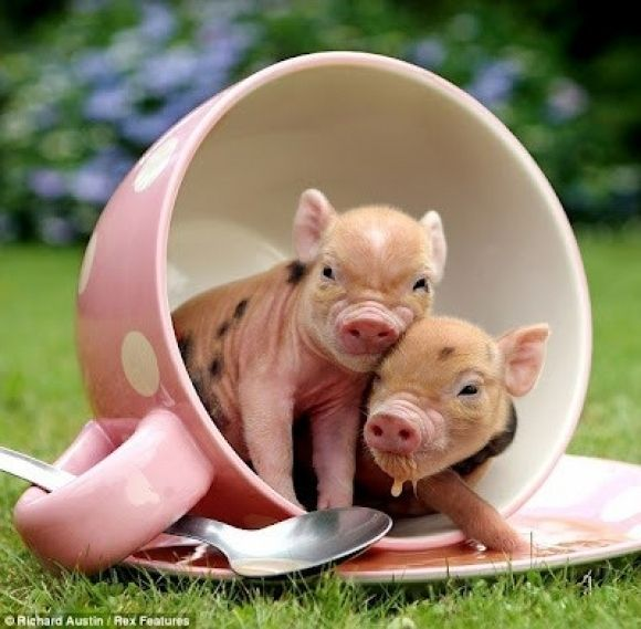 15 Pictures Of Teacup Pigs With Actual Teacups