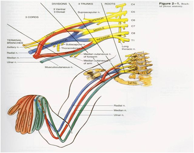 Brachial plexus Real Therapist Drink Cold Beer: Roots Trunks Divisions Cords Branches (nerves)
