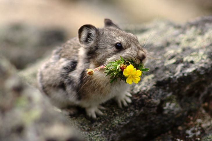 A pika (Ochotona collaris) with a Potentilla sp. (cinquefoil) flower in its mouth. Potentilla, the genus it is carrying, is quite high in tannin concentration, so this pika is likely storing this plant (except the flower) for long-term storage, to eat later in the winter.