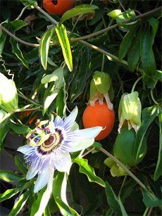 passion flower vine, propagation by seeds, cuttings or layering.