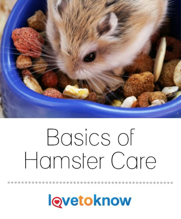 Hamsters make great pets if you take care of them and interact with them daily to keep them tame. Their lifespan is about two to three years on average, but a lot depends on feeding them a proper diet and providing them with clean and spacious living quarters. They're not difficult pets to care for, but you do have to be dedicated to providing for all of their needs. | Basics of Hamster Care from #LoveToKnow