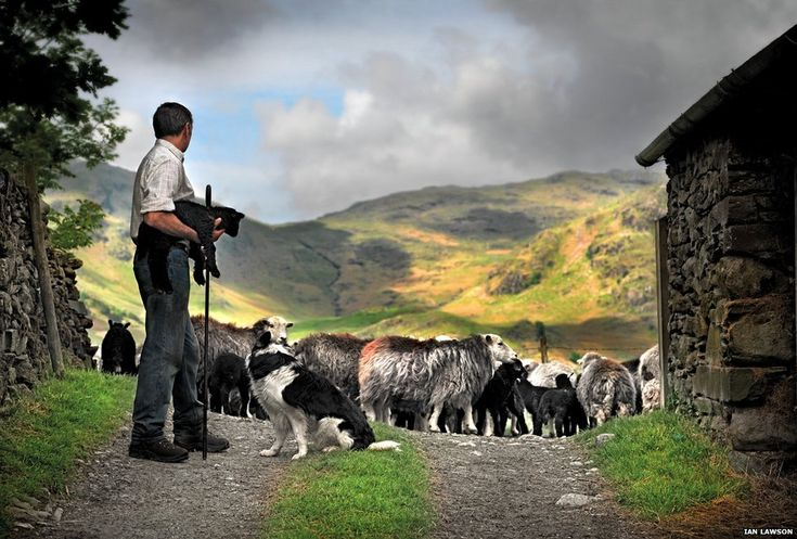 Shepherd with Herdwick sheep // Photographs celebrate Lake District rare breed sheep | BBC