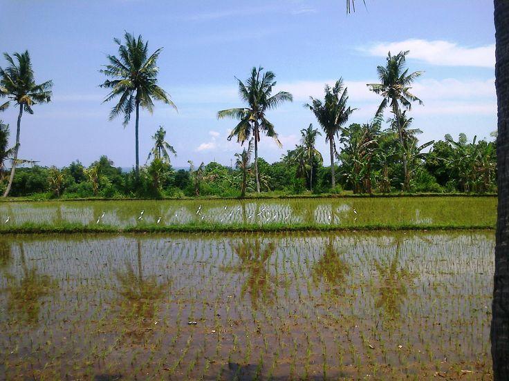 Rice field at Panji Anom, Buleleng. North Bali Indonesia