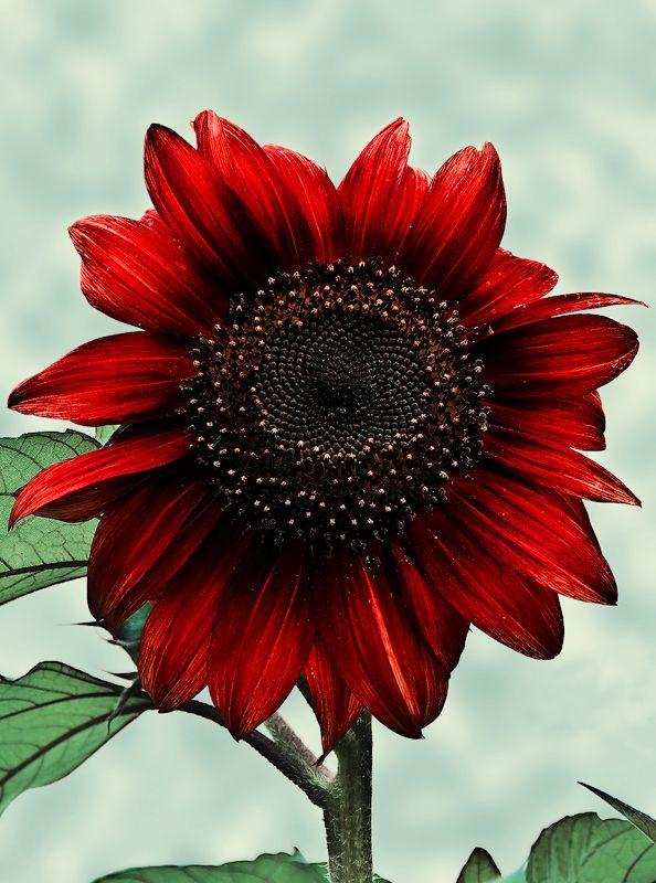 .:.Red Sunflower.:. by Ailedda.deviantart.com on @DeviantArt