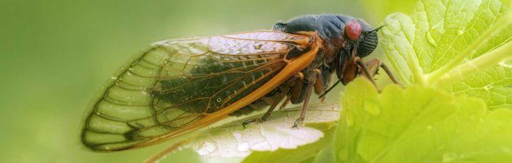 Periodical Cicadas—Synchronized Swarming   Answers in Genesis