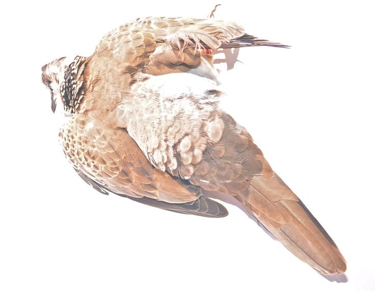 Dead dove II