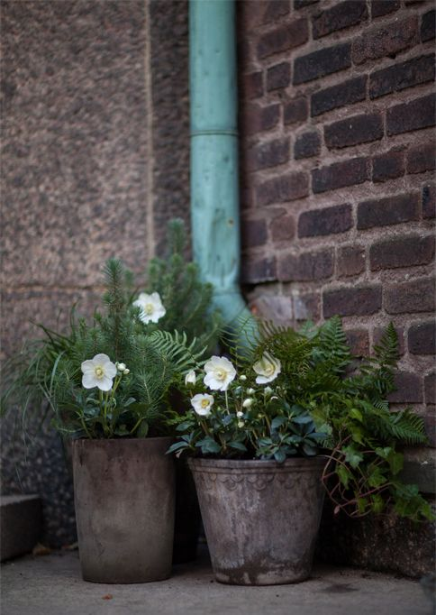 How about ferns and japanese anenomes for the trough/pot by the back door?  Evergreen of the ferns and the anenomes flower into October.