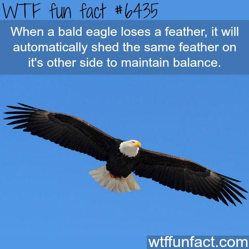Bald eagle - WTF fun facts
