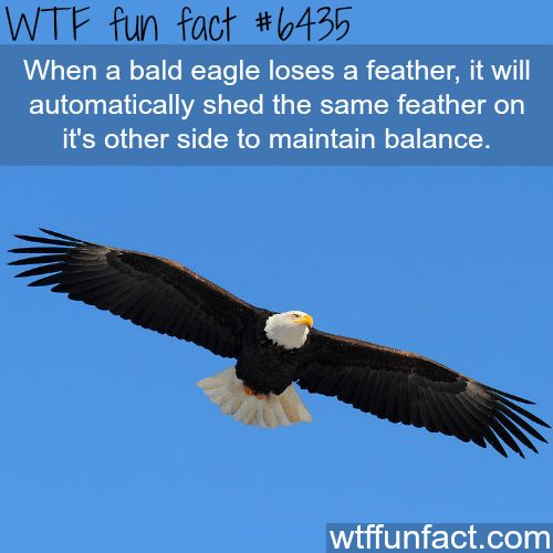 Bald eagle - WTF fun facts. Wow, I have that same quirk. If I scratch one hand, I have to do the other so they feel even. Stretch one side. ...must do the other. Stub one toe.....well usually I'll just step on the other.