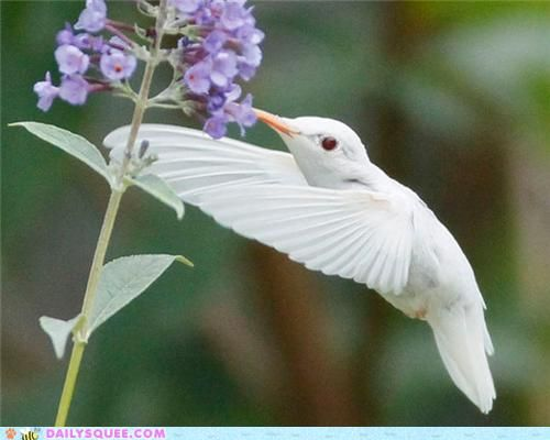 Albino Hummingbird: White Hummingbirds, Hum Birds, Rare Albino, Beautiful Birds, Flower, Cabbages Butterflies, Albino Hummingbirds, Albino Animal, Ruby Throat Hummingbirds