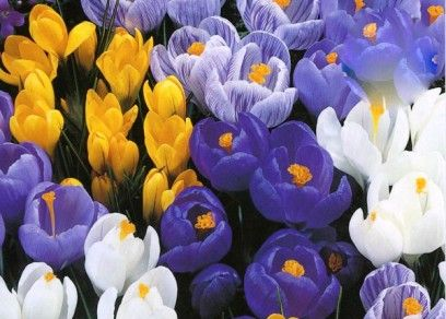 Crocus Bulb For Sale | Buy Bulk Crocus Bulbs at Eden Brothers