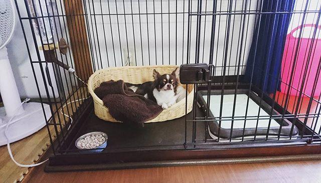 今までケージわ寝室に 置いてずっと放し飼い やったけど もう出産間際なので 昨日からケージをリビングに お引越し😗  ってゆうても放し飼いやけどw 寝る時とお留守番わケージでお願いします🙇  #チワワ #chihuahua #ロングコートチワワ #チョコタンホワイトチワワ #愛犬