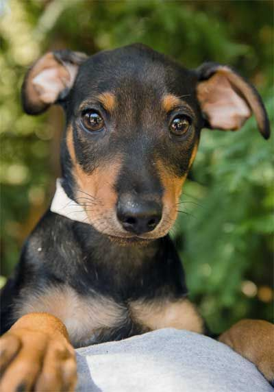 Animal Friends Rescue Project Pacific Grove, CA. <3 Buster & siblings are 3 mo German Pinscher/Schnauzer mix puppies  rescued from the streets. Raised in foster, they are cute, happy & playful pups looking for adopters w/ the time to spend plenty of time w/ them & get them through the puppy stage. Puppy obedience class registration required for adoption.