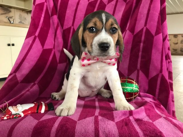 Beagle Puppy For Sale In East Earl Pa Adn 56431 On Puppyfinder