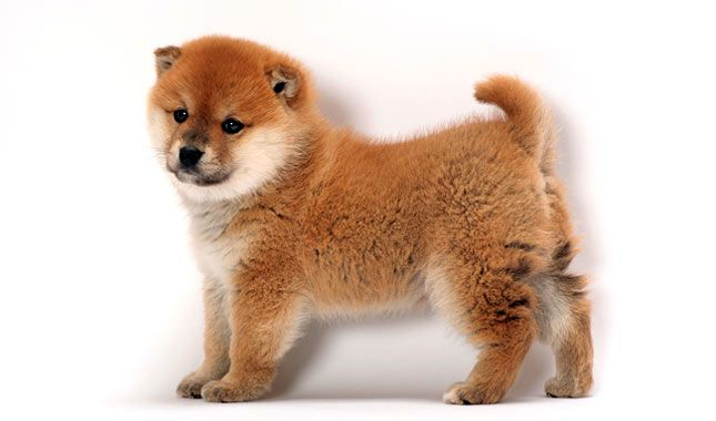Everything you want to know about Shiba Inus, including grooming, training, health problems, history, adoption, finding a good breeder, and more.