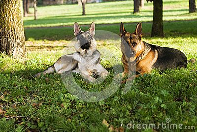 Two dogs resting in the nature, sitting on the grass.