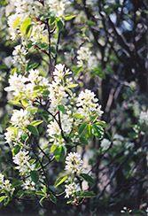 Amelanchier alnifolia 'Thiessen' Saskatoon - Z2, 10'x6', sun, 2-3cm berries in late July, heavy producer, uneven fruit ripening, columnar plant.