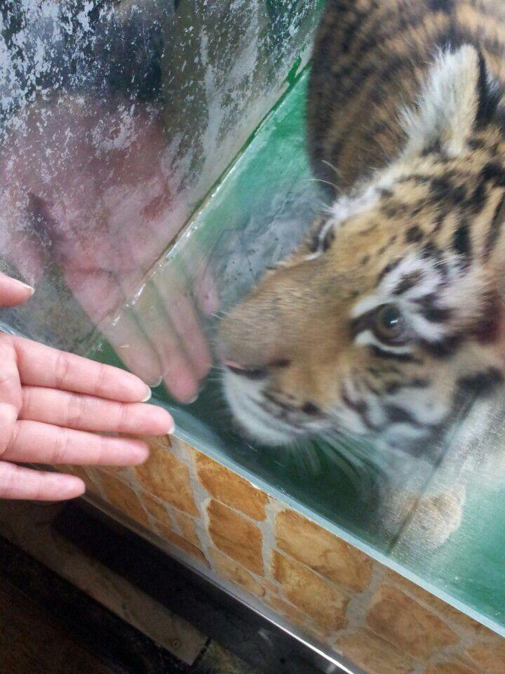 아기 호랑이 @ 서울과천 동물원