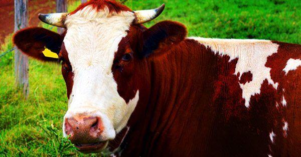 Comportamiento del ganado lechero    Tabla de contenidos  1 Comportamiento del ganado lechero para una excelente venta de ganado  1.1 Comportamiento del ganado lechero  1.1.1 Por ejemplo,  1.1.2 Más de mi sitio