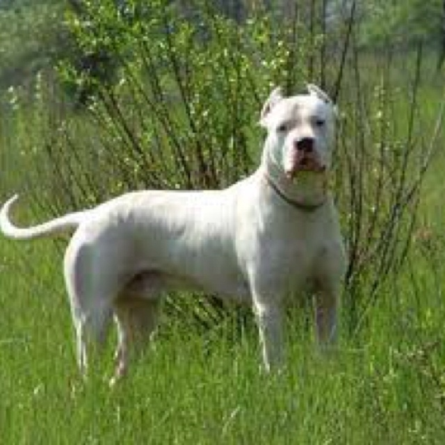 The Argentine Mastiff (also known as the Dogo Argentino) is a large ...