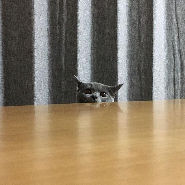 テレビに夢中な私にアツイ視線が…じーーーーっ👀✨ 今朝、妊娠もしてないのに陣痛の夢を見ました…く、苦しぃ…痛いっううう〜ってお腹に手を当てたら、3.4㌕のおまけがお腹の上で丸くなって寝てました🌀笑 #愛おしい#愛猫#ブリティッシュショートヘア ##ブリティッシュブルー #にゃんこ#にゃんすたぐらむ #にゃんだふるらいふ #ねこ#ねこ部 #ねこすたぐらむ #ねことの暮らし #ネコ#ネコ部 #ニャンコ #ニャンスタグラム #cat#catstagram #britishshorthair