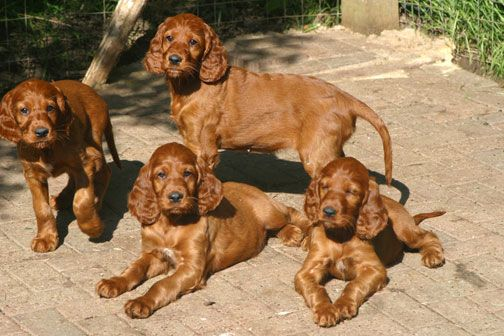 Irish Setter Puppies irish setter puppies_06 – Puppy dog site