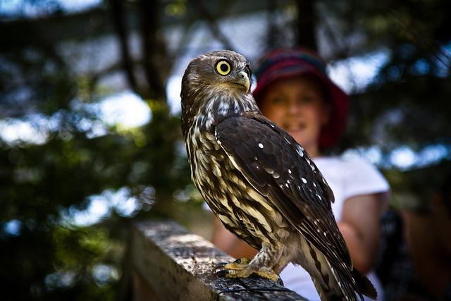 Healesville Sanctuary owl up close