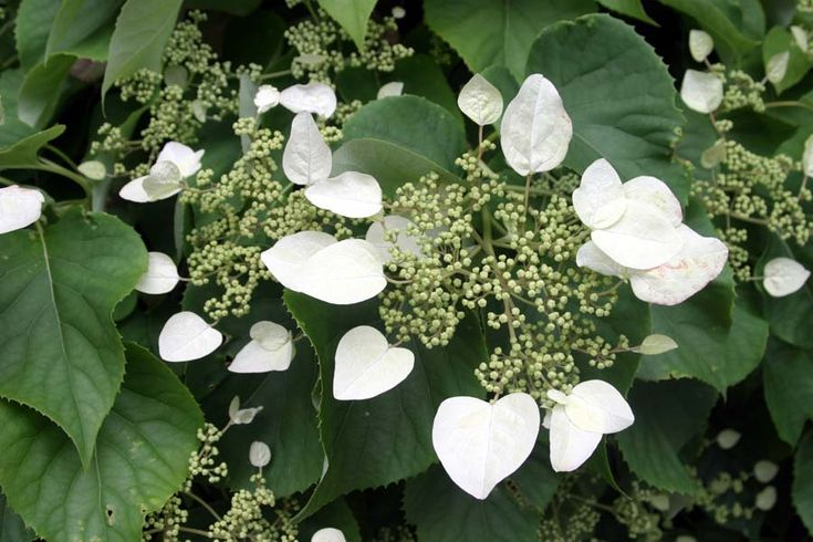 Schizophragma hydrangeoides 'Moonlight'  Slow growing vine that will cling to a hard surface.