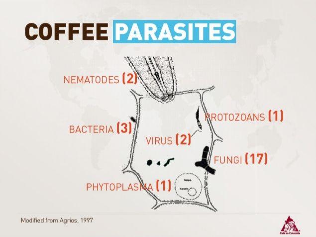 Coffee Parasites: