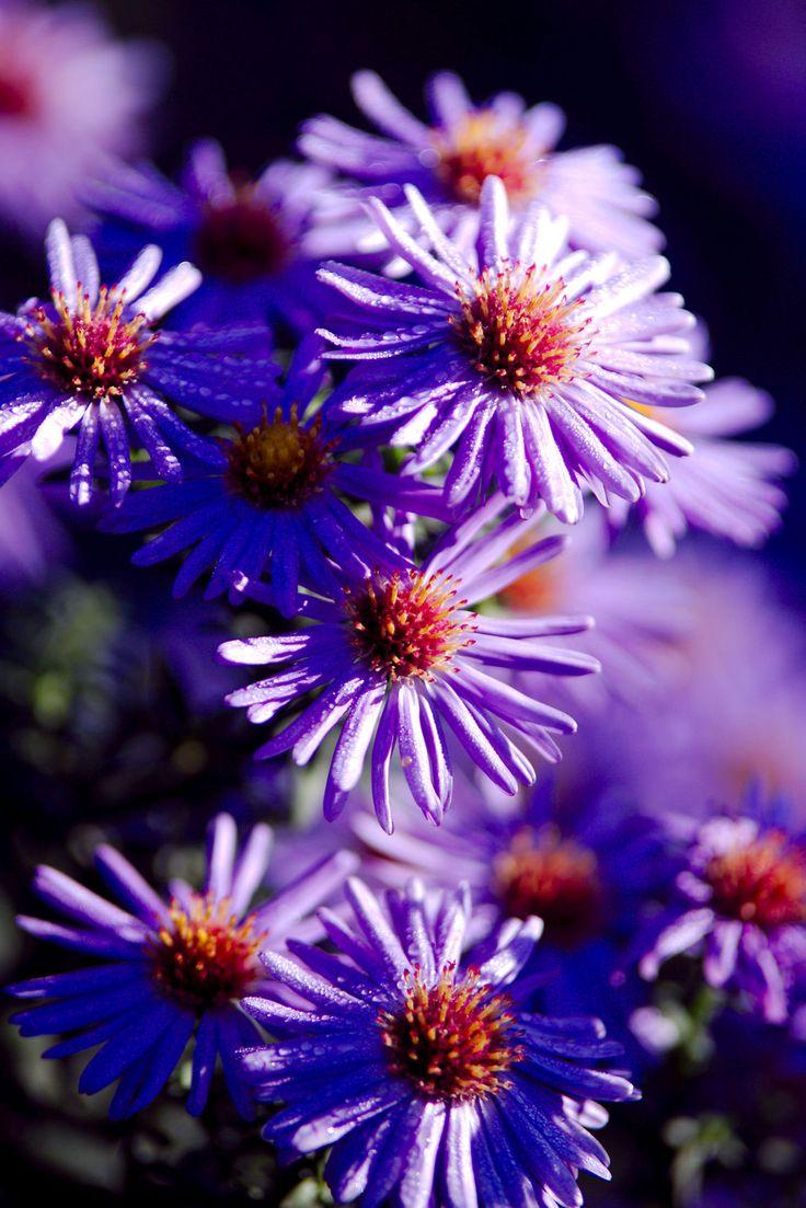 Nice Flower Tattoo Ideas For Women: 736 Best Perennials Images On Pinterest