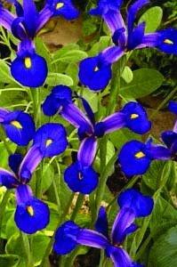 Iris 'Rendez Vous': Garden Ideas, Flowers Plants, Formal Flowers, Garden Landscape Style, Bulb Size, Cat S Garden, Iris, Gardening Angel S, Cut Flowers
