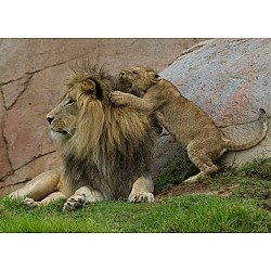Summer Camp 2012: Teen Survivor Challenge San Diego, CA #Kids #Events: Kids Events, Young Lionesses, San Diego Zoos,  King Of Beasts,  Panthera Leo, Lionesses Wrestling, Things, Challenges San