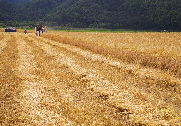 낙동강 상류 청정구역인 안동시 도산면 의촌리 마을에서는 보리 수확이 한창이다.  사진제공-안동시 농업기술센터 이용덕 농촌지도사 (2015. 6. 23.)