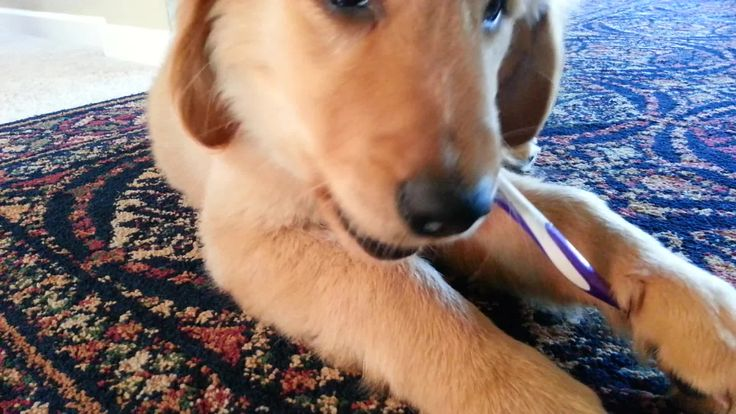 Looks like this adorable Golden Retriever puppy named Daisy knows how to take care of those new teeth! Credit to 'liqidarts'.