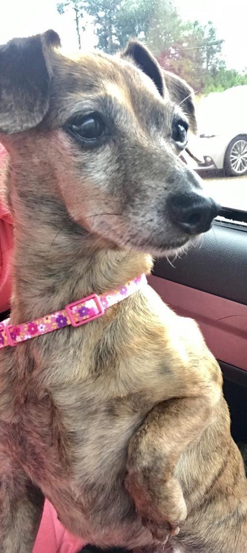 Adopt Kiki On Dachshund Adoption Dog Adoption Help Homeless Pets