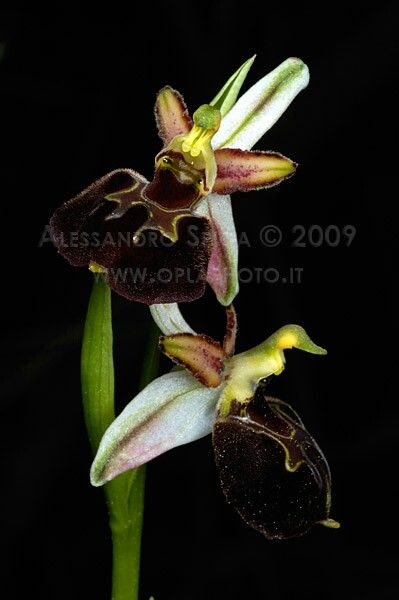 Ophrys morisii foto Alessandro Spiga