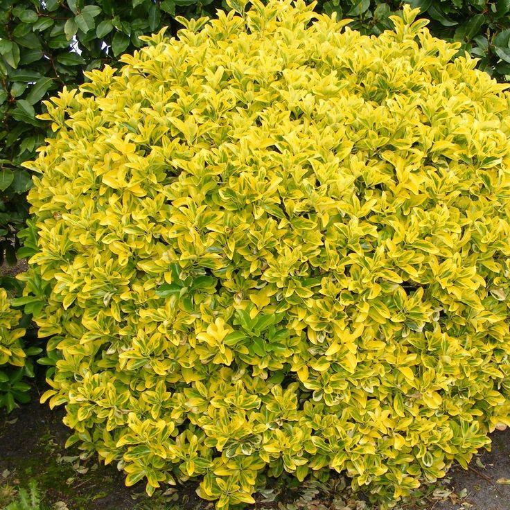 Euonymus japonicus 'Aureomarginatus' - Fusain du Japon doré persistant peu d'entretien 150 de ht
